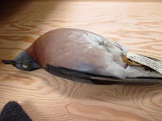 passenger pigeon three