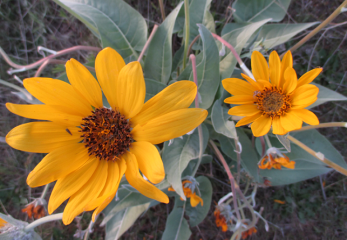 arrowleaf-balsamroot-in-the-sunset-framed-vers-2nd