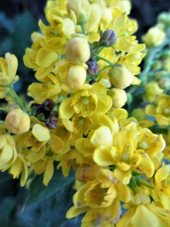 flowers-oregon-grape
