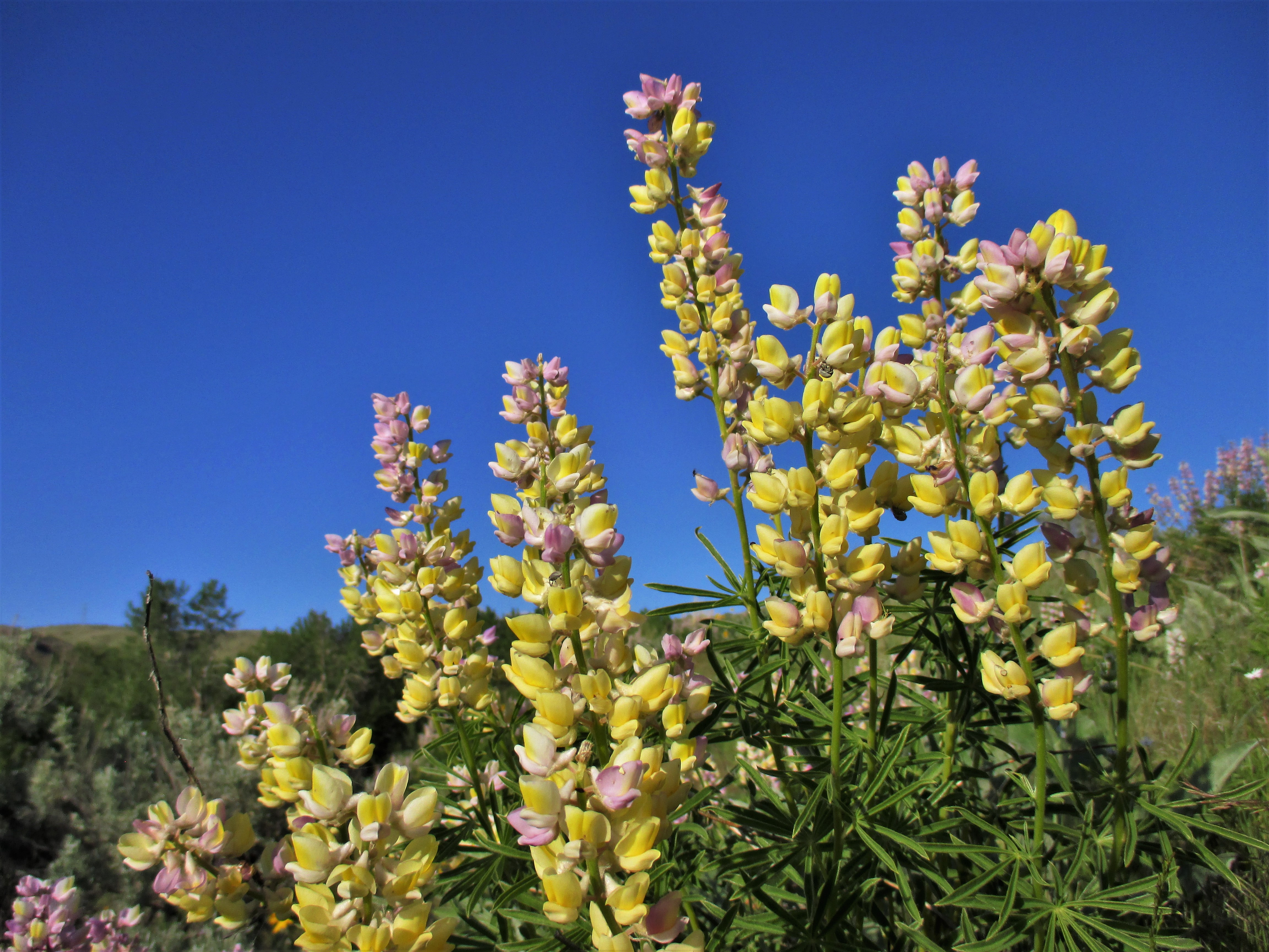 lupine of the flowy ocean