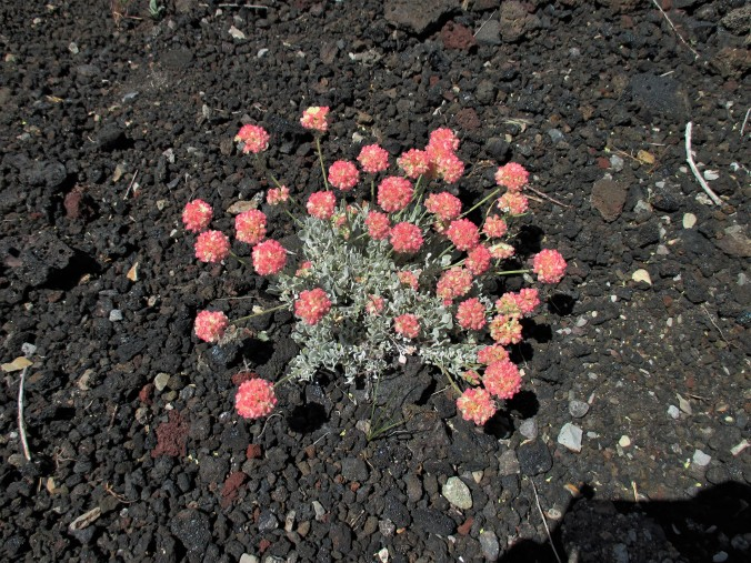wwwwww Wildflower 3 Buckwheat.jpg