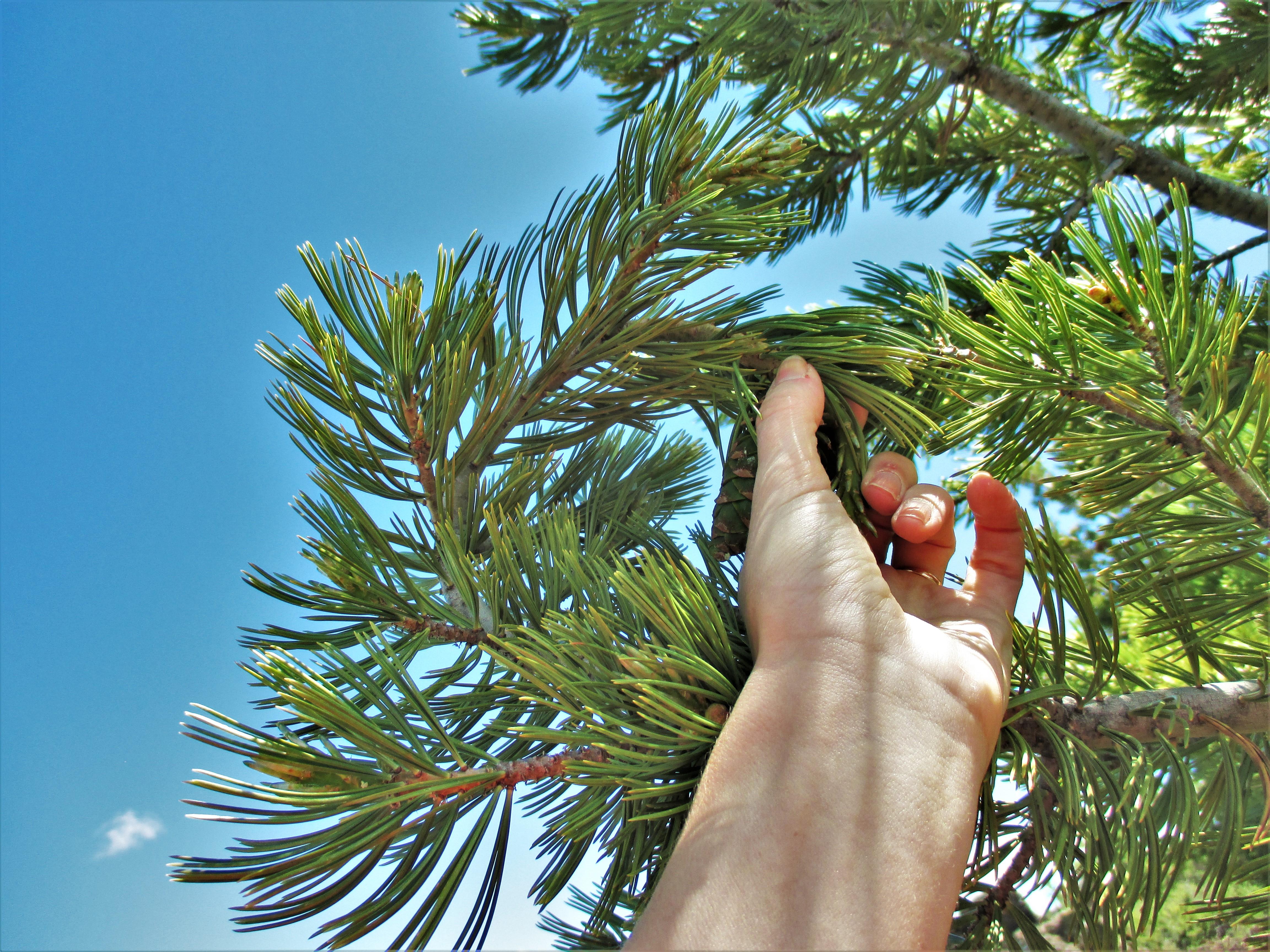 wwwwwww circley linber pine.jpg