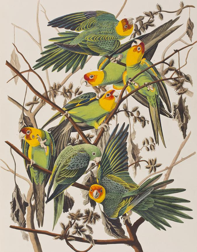 1-carolina-parrot-john-james-audubon
