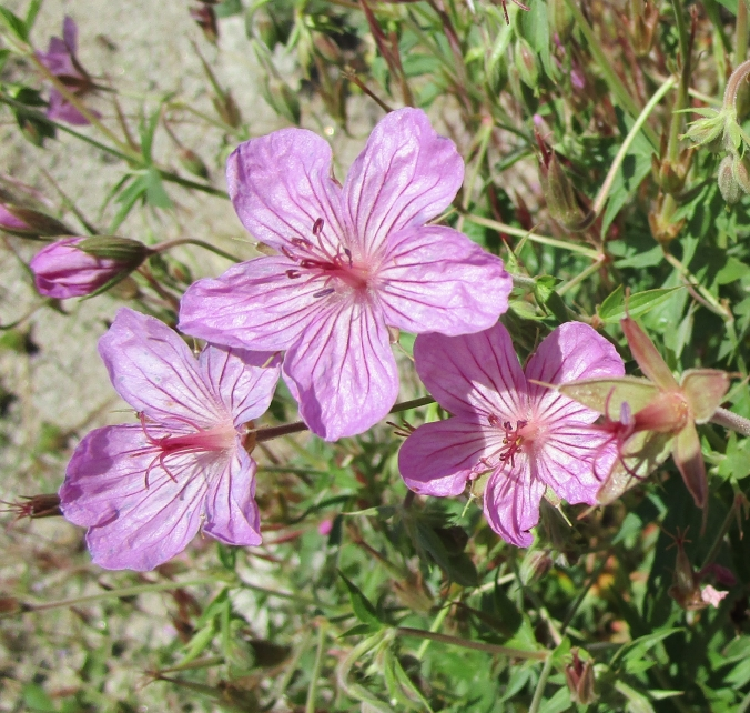 sticky-geranium-the-best-tiny